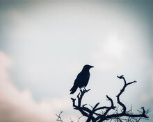 Maître Corbeau, Sur Un Arbre Perché