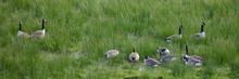 Kanadagänse (Branta Canadensis) Auf Den Rieselfeldern, Münster, Münsterland, Nordrhein-Westfalen, Deutschland