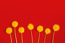 Blooming Yellow Dandelion Flowers On A Red Paper Background Flat Lay With Copy Space. Minimalism Concept