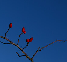 Red Berries On Rose Bush In Winter No Foliage Blue Sky