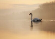 Swan Swimming On Lake Against Sky During Sunset