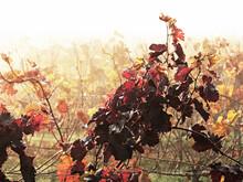 It Is Autum In A Vineyard In Winegrowing District Rhinehesse, Spiesheim, Rhineland-Palatinate