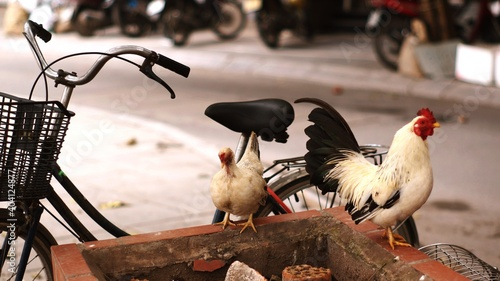 Fotografering 2 Chickens And A Bike