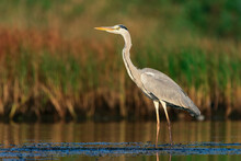Great Heron At Shore Standing.