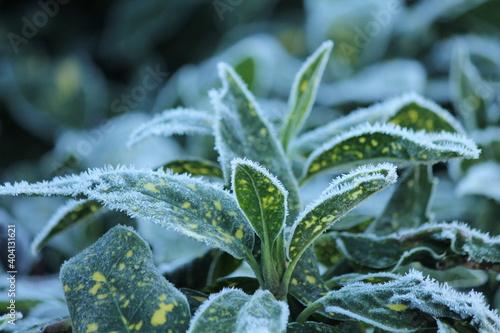 frost covered aucuba japonica Fototapet