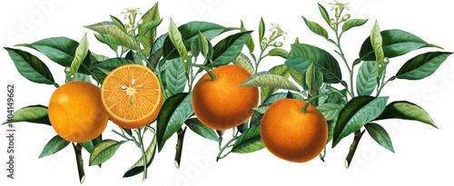 Fototapeta Seamless border arrangement with vintage orange citrus fruits, blossom, green leaves obraz