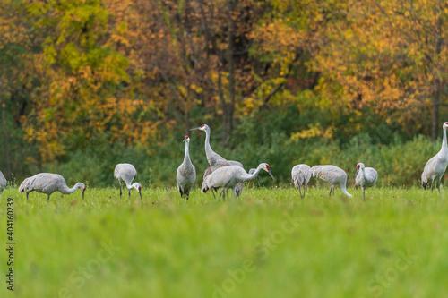 Fototapeta premium Sandhill Cranes Feeding in a Field in the Autumn