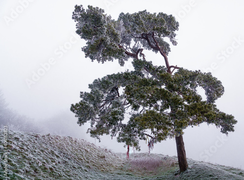 Fototapeta a lone scots pine covered in windswept frost against a deep mist background from