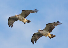 Osprey Pair In Flight Calling