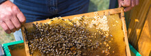 A Farmer On A Bee Apiary Holds Frames With Wax Honeycombs. Planned Preparation For The Collection Of Honey.