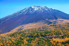 Top Of Mount Fuji And Yellow Pine Trees In Autumn