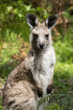 Close Up Of Eastern Grey Kangaroo
