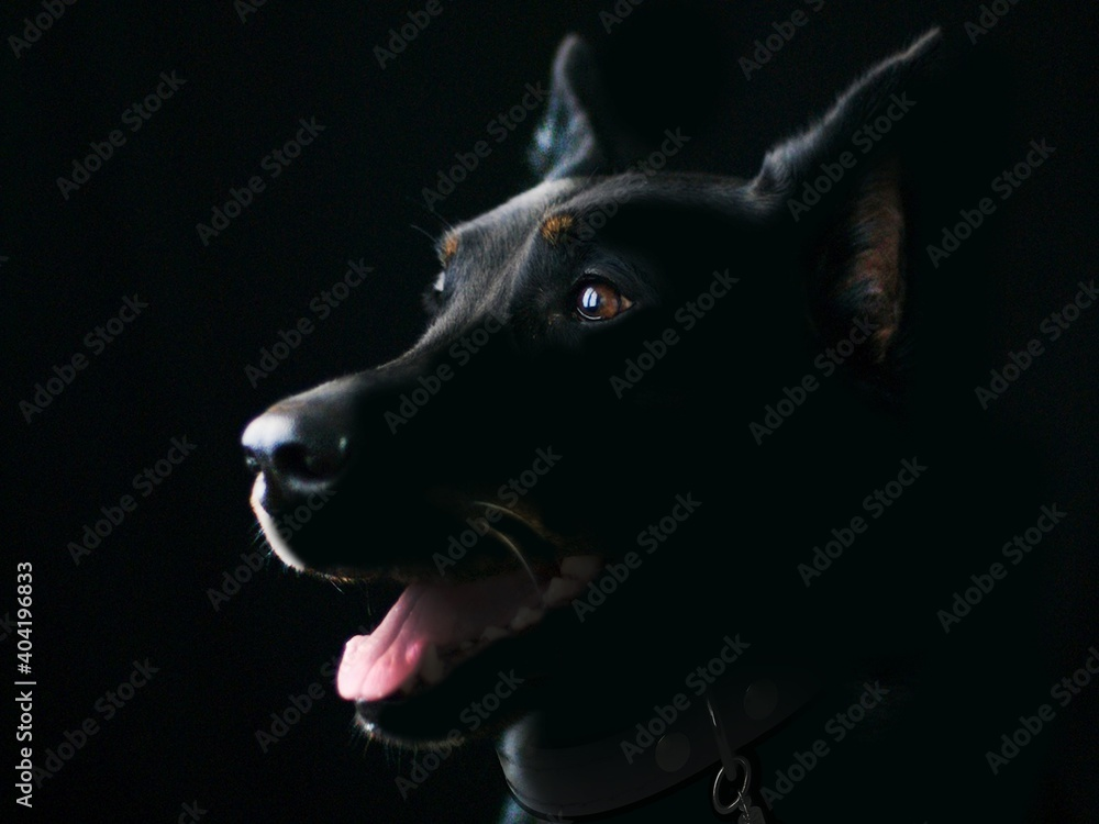 Fototapeta portrait of a black dog