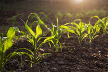 Organic Corn Planted In The Garden With Bright Morning Sunlight