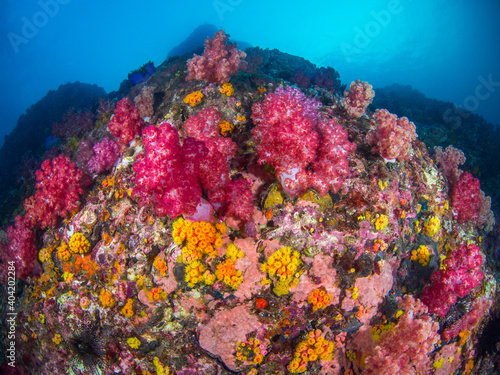 Fototapety, obrazy: Carnation tree corals and Orange cup corals (Mergui archipelago, Myanmar)