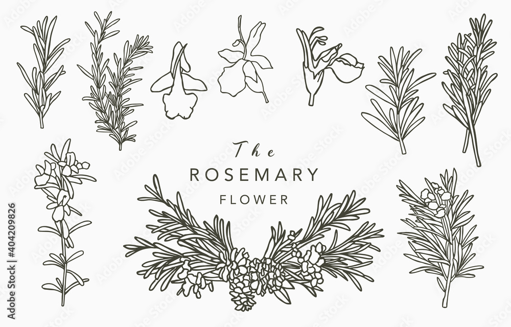 Fototapeta Line herbal collection with rosemary.Vector illustration for icon,sticker,printable and tattoo