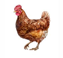 The Chicken (Gallus Gallus Domesticus)