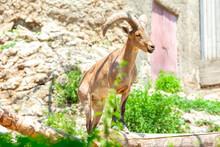 Daghestan Tur Animal . Capra Cylindricornis .  East Caucasian Tur