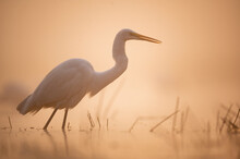 Great Egret  In Misty Morning