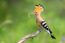 Eloquent Eurasian Hoopoe, Upupa Epops, Sitting On A Branch With White Larva In Beak On Green Background. Wild Bird With Open Crest From Feathers Perched From Side View In Summer Nature.