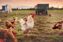 Happy Free Range Organic Chicken In The Meadow