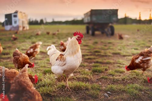 Obraz na plátně happy free range organic chicken in the meadow