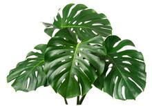 Fresh Monstera Leaf Isolated On White Backround