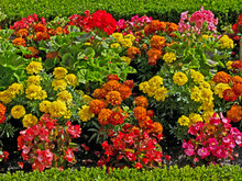 Close Up Detail Of Begonias And French Marigolds In A Flower Garden