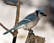 Blue Jay Stock Photo. Blue Jay perched with a blur background in the forest environment and habitat. Image. Picture. Portrait. Looking to the right side.