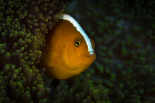 Skunk Clownfish In Anemone -  Amphiprion Perideraion