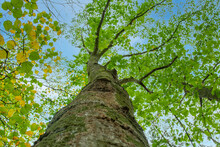 Bottom View To The Tree Top Of A Huge Plane Tree Or Platanus In Jungle Forest. View From The Bottom Of The Tree Crowns Against Blue Sky. Trees Bottom View Tree Crowns Green Tops
