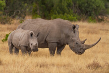 Southern White Rhinoceros Cow And Calf (Ceratotherium Simum) In Ol Pejeta Conservancy, Kenya, Africa. Near Threatened Species Also Known As Square-lipped Rhino. Mother With Baby Animal