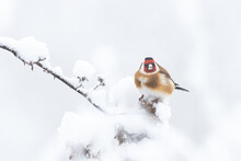 European Goldfinch (Carduelis Carduelis) Resting On A Frozen Branch In Winter