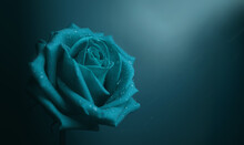 Blue Rose With Droplet On Petal. Flower Symbol Of  Love And Valentines Day. Lonely And Sadness Feeling Concept