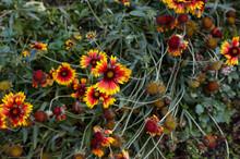 A Wonderful Bright Red Gaillardia Flower Or Blanketflower (Gaillardia Aristata Or Pulchella)  With Yellow Details On The Petals