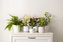 Exotic Houseplants With Beautiful Leaves On Chest Of Drawers At Home