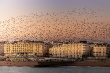 Multitudes Of Starlings On Brighton Seafront