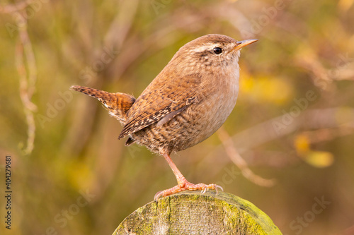 Fotografija Wren on fence post with erect tail and shrubbery in background