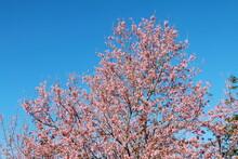 Wild Himalayan Cherry,Sakura Thailand,Pink Flower In Thailand National Park At Phu Lom Lo, Loei, Thailand.