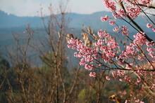 Close Up Wild Himalayan Cherry,Sakura Thailand,Pink Flower In Thailand National Park At Phu Lom Lo, Loei, Thailand.