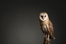Beautiful Common Barn Owl On Tree Against Grey Background. Space For Text