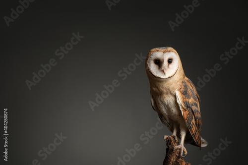 Valokuva Beautiful common barn owl on tree against grey background