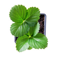 Strawberry Seedling In Black Plastic Pot Isolated On White. Top View, Close-up. Gardening Concept.