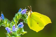Common Brimstone Butterfly Gonepteryx Rhamni, On Buddleja