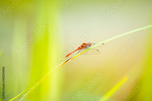 Photo Closeup of a Ruddy darter Sympetrum sanguineum resting in sunlight in a meadow