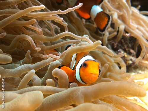 Papel de parede fish in anemone