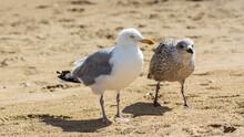 A Pair Of Seagulls Walking On Their Beach.