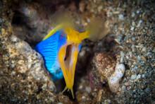 Ribbon Eel Head Shot On Coral Reef