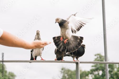 Fototapeta Wyciągnięta dłoń z pokarmem dla podlatującego gołębia obraz
