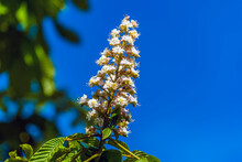 A Close Up View Of A Horse Chestnut Tree Blossom In Leicestershire In Springtime